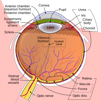 Schematic_diagram_of_the_human_eye_en.svg